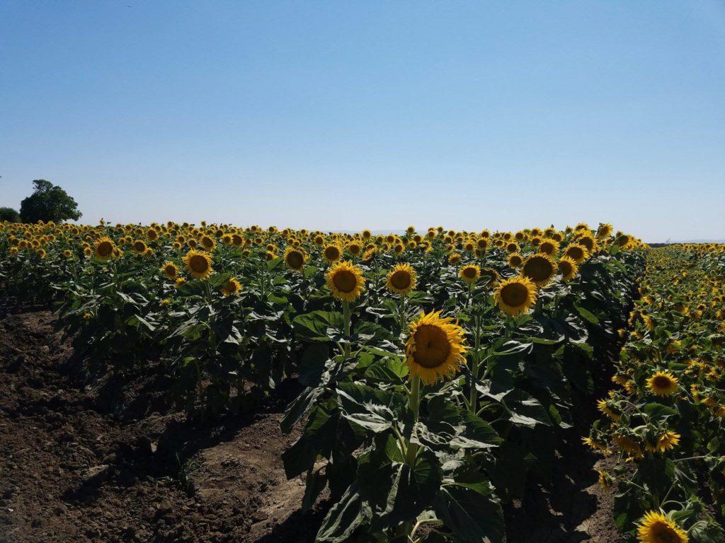 Sunflowers Davis