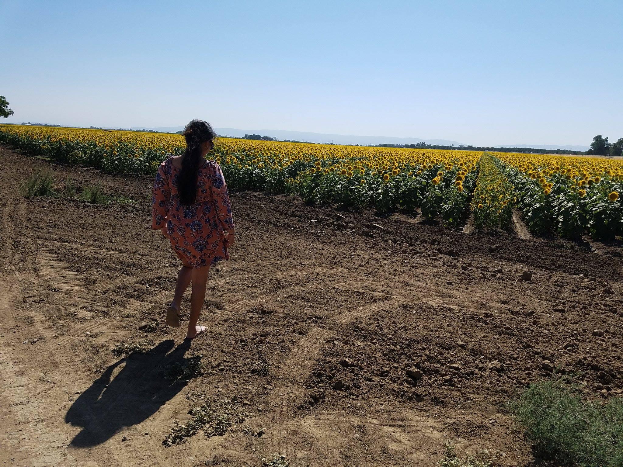 Sunflowers view