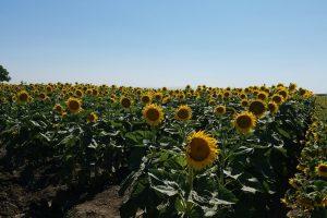 Sunflower Field, Davis CA